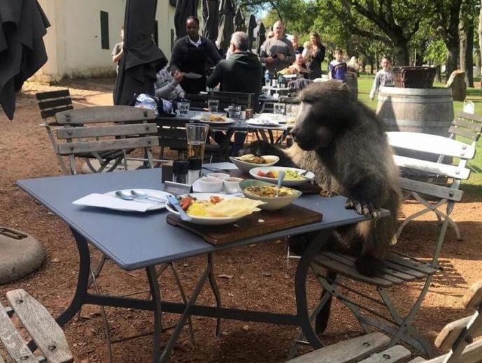 Baboon Cape Town